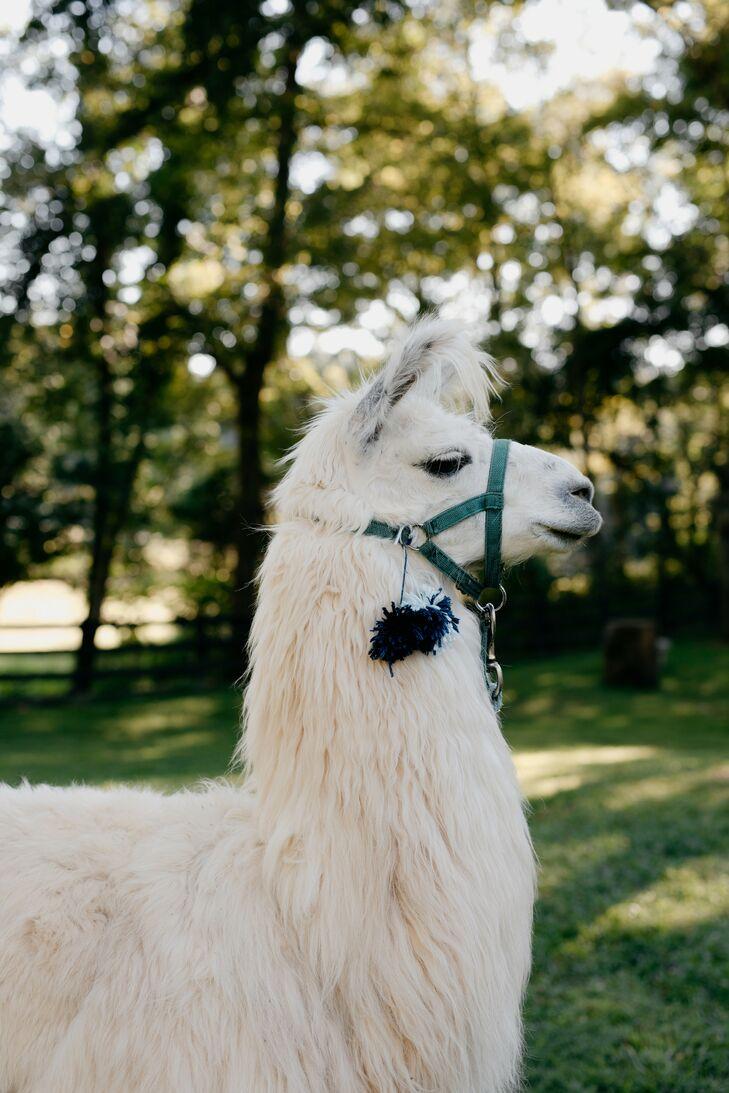 Llama at Rustic North Carolina Wedding