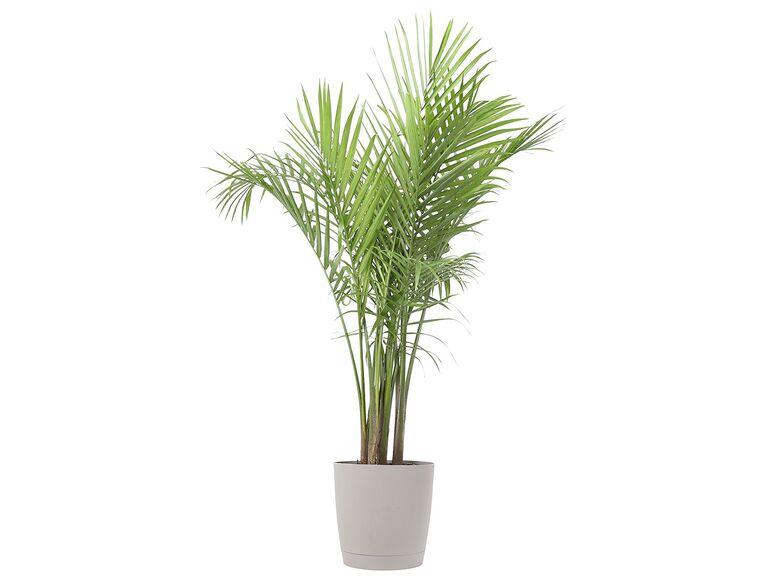 Indoor palm floor plant