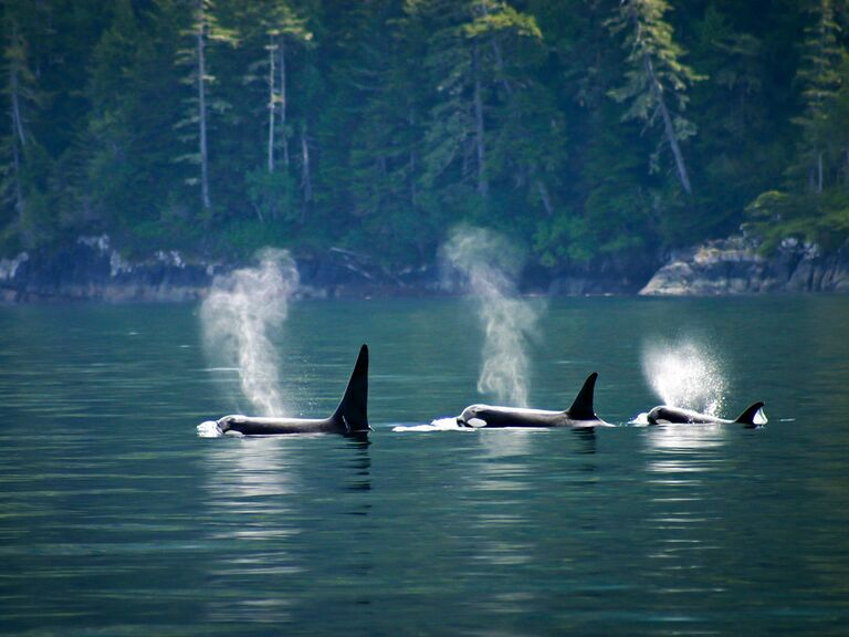 orca whales vancouver island