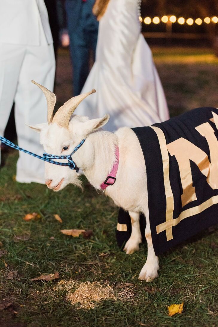 Bride Surprised Groom with Navy Mascot Goat at Wedding